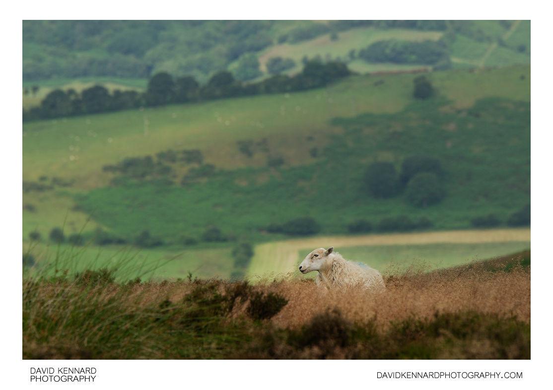 Sheep on the Long Mynd