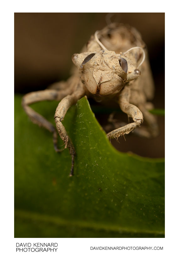 Broad-bodied Chaser (Libellula depressa) exuvia