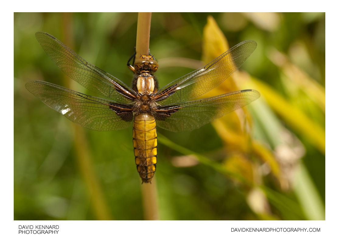 Female Broad-bodied Chaser (Libellula depressa)