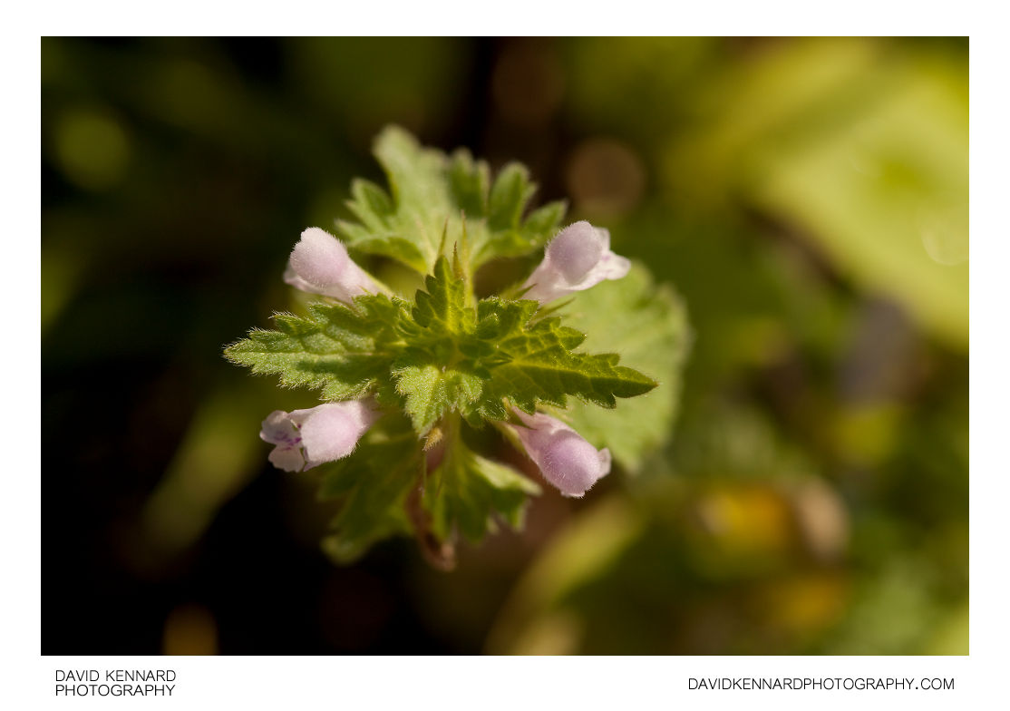 Cut-leaved Deadnettle (Lamium hybridum)