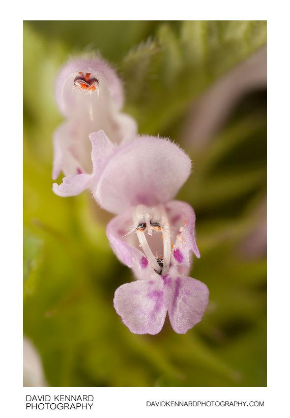 Cut-leaved Deadnettle (Lamium hybridum) flowers