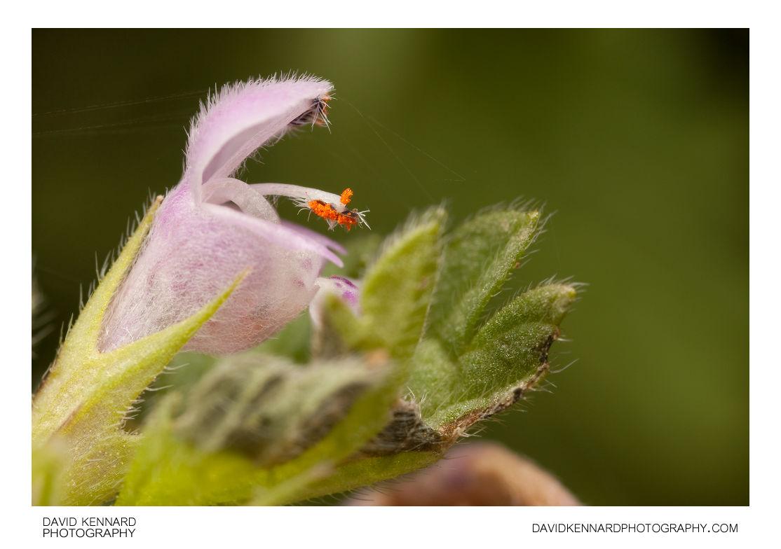 Cut-leaved Deadnettle (Lamium hybridum) flower