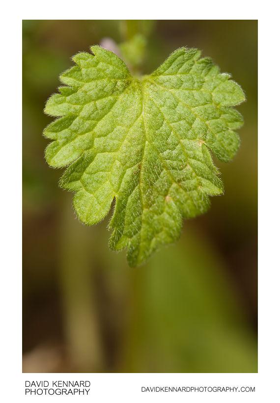 Cut-leaved Deadnettle (Lamium hybridum) leaf