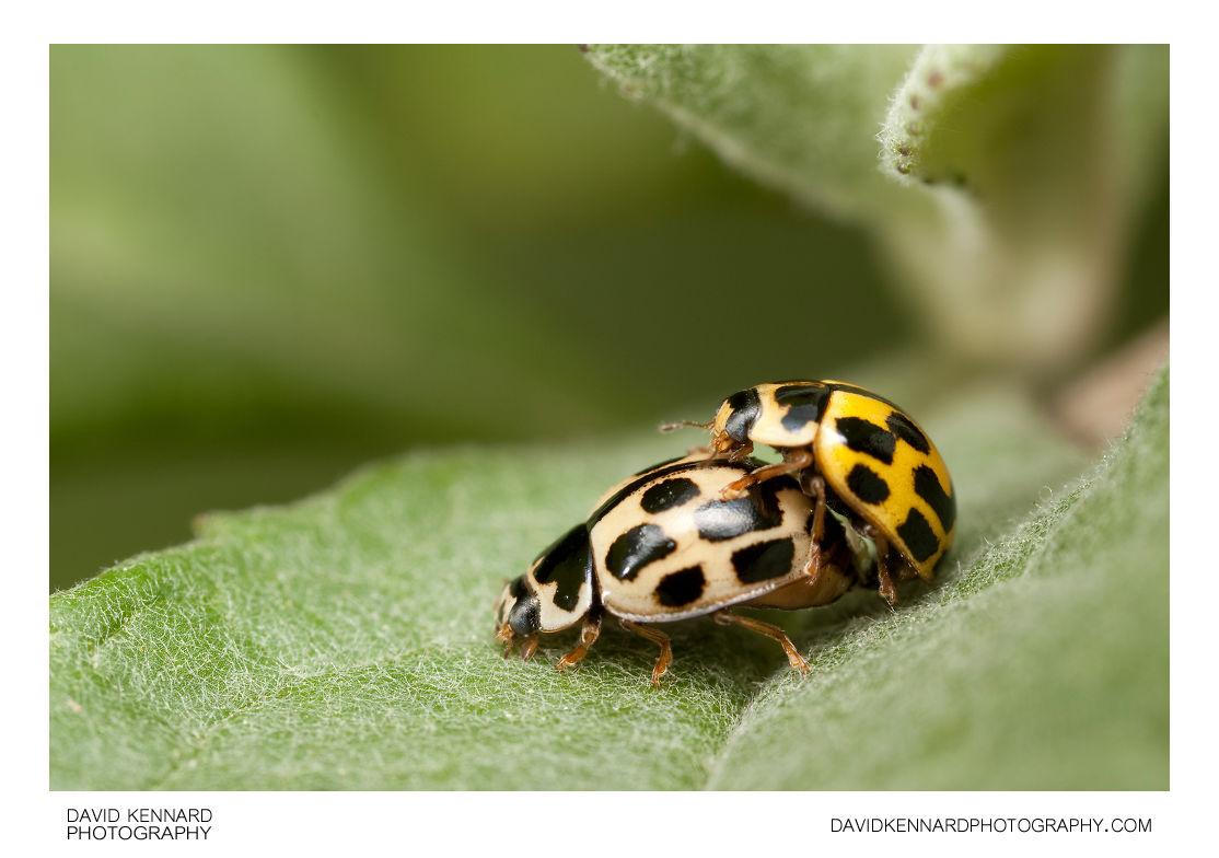 Mating 14-spot ladybirds