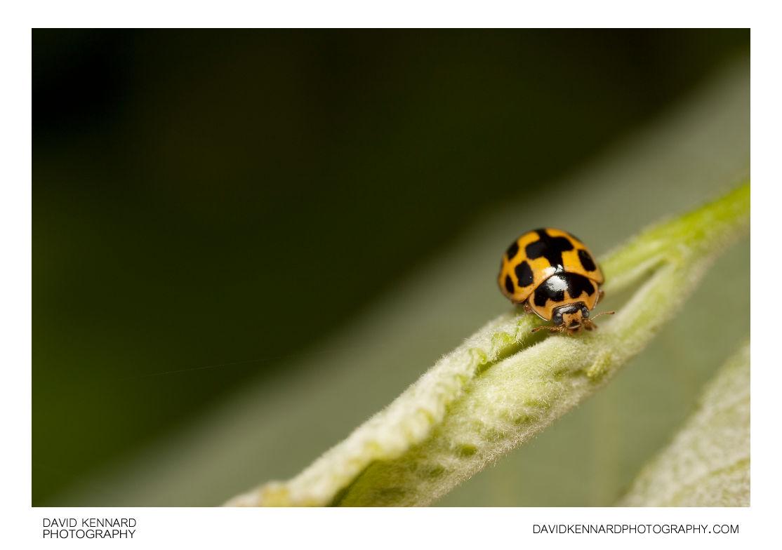 14-spotted ladybird (Propylea quatuordecimpunctata)