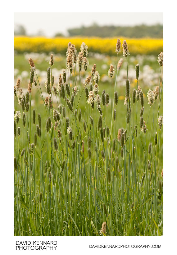 Meadow Foxtail - Alopecurus pratensis