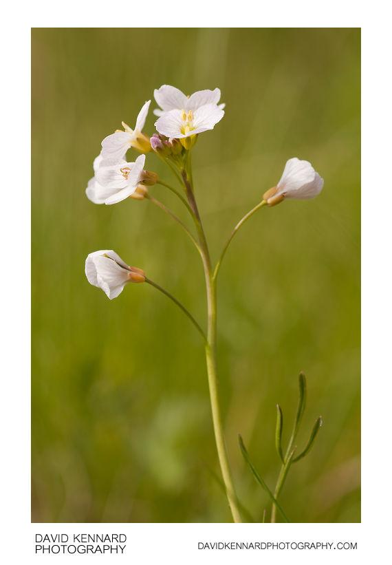 Lady's Smock (Cardamine pratensis) flowers