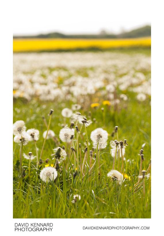Field of seeding dandelions