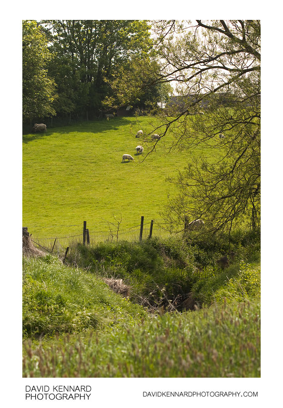 Sheep on hill above the Welland