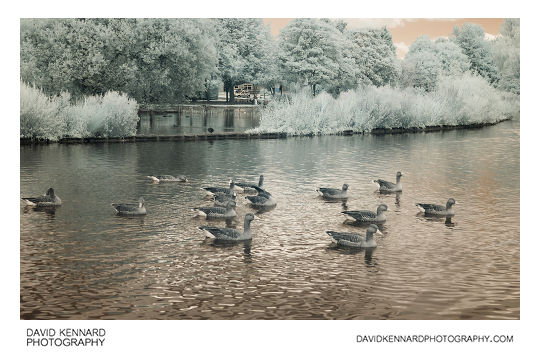 Infrared photo of Greylag Geese on Corby Boating Lake in Corby