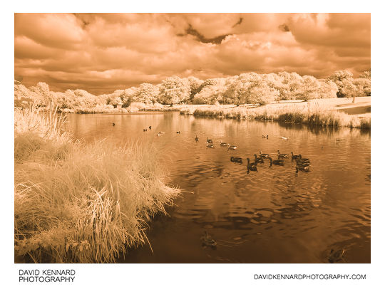 Infrared photo of Greylag Geese at Corby Boating Lake