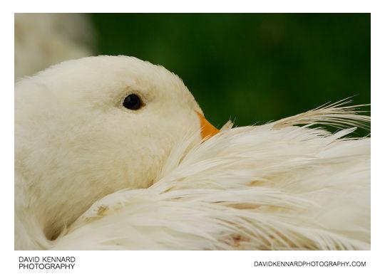 White duck at Acton Scott Historic Working Farm