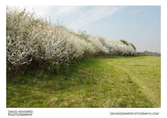 Blackthorn (Prunus spinosa) hedgerow in blossom
