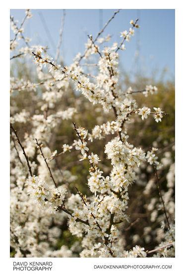 Blackthorn (Prunus spinosa) bush in blossom