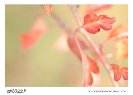 Autumnal Hawthorn leaves