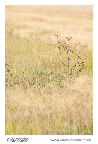 Autumn grass and hogweed