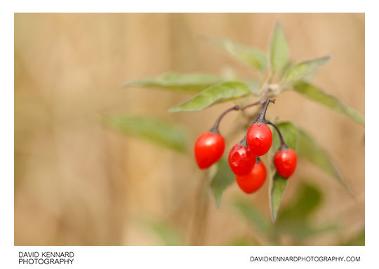 Woody nightshade (Solanum dulcamara) berries