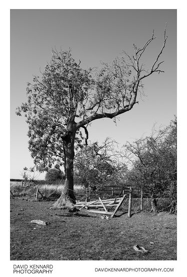 Tree and broken fence