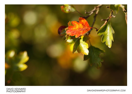 Hawthorn leaves in early autumn