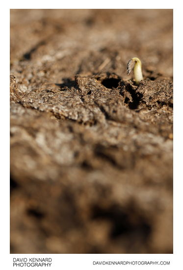 Seedling and cowpat