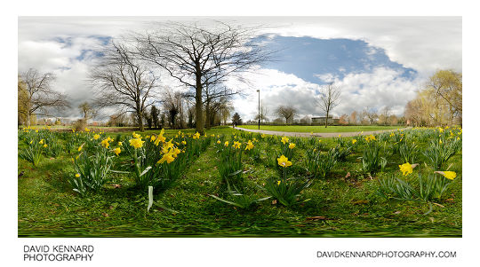 Daffodils in Welland Park, Harborough