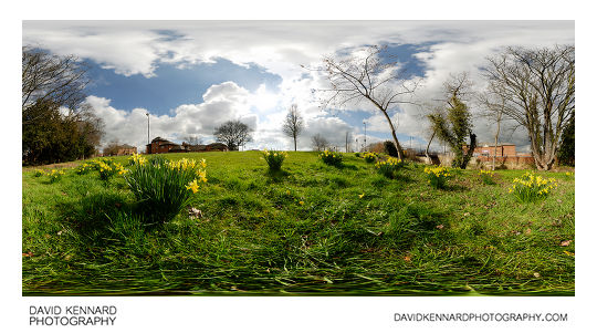 Daffodils by the Millennium Mile, Harborough