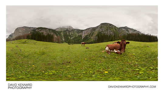 Cows in meadow near Röthbachfall, Königsee
