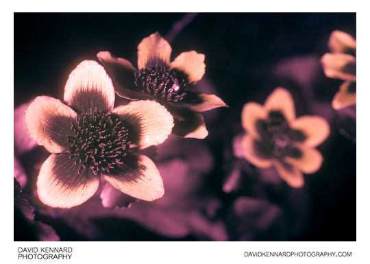 Marsh Marigold (Caltha palustris) in UV