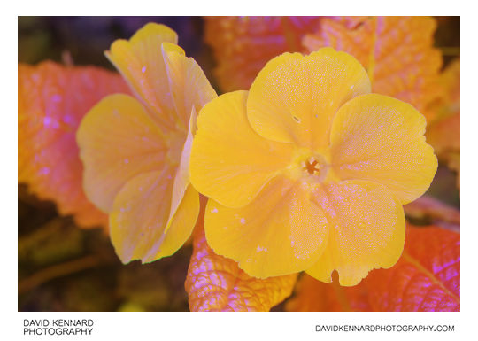Orange flowered Primose [Multispectral]
