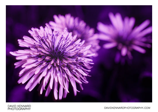 Common Dandelion (Taraxacum officinale) flowers in ultraviolet