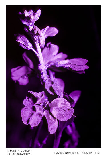 Aegean wallflower (Erysimum cheiri) flowers in UV