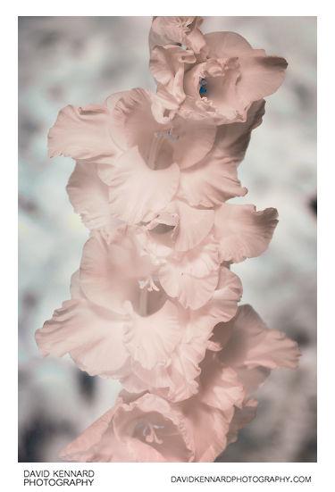 Gladiolus × hortulanus 'Priscilla' [IR]