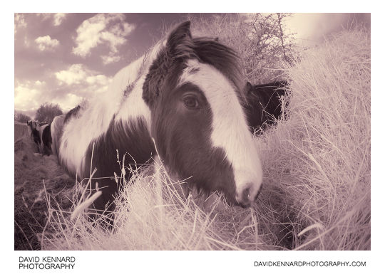Young Gypsy-cob Horse munching hay [IR]