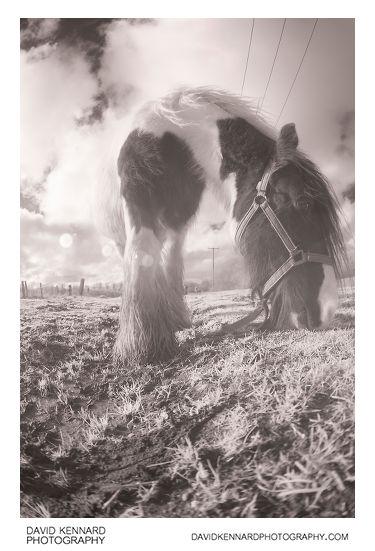 Gypsy-cob Horse feeding [IR | Fisheye]