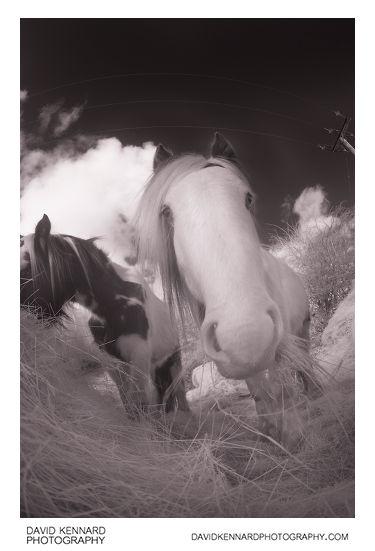 Gyspy-cob horse eating hay [IR]