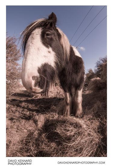 Gypsy-cob horse fisheye portrait