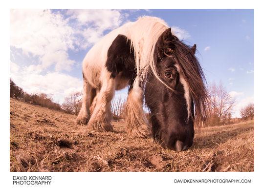 Gypsy-cob horse feeding