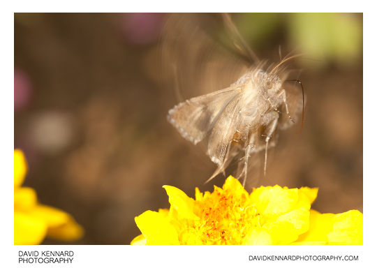 Photograph of Silver Y Moth (Autographa gamma) taking off / in flight