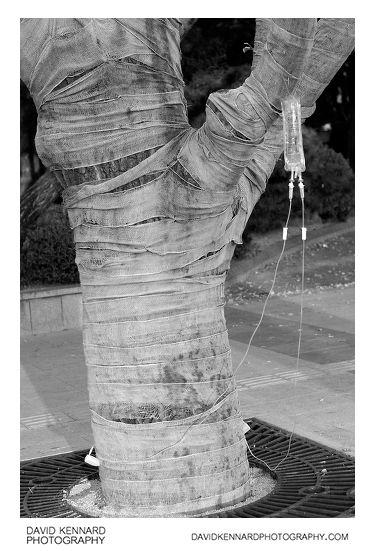Bandaged Tree on IV drip