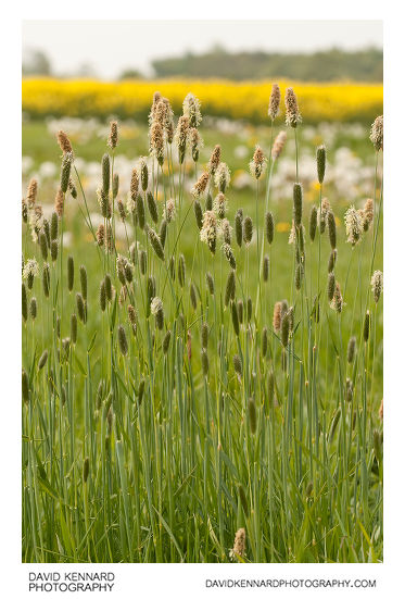 Meadow Foxtail - Alopecurus pratensis