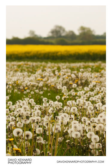 Field of seeding dandelions