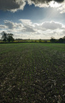 Cloudy sky over field of green shoots