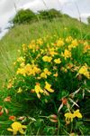 Bird's-foot Trefoil (Lotus corniculatus) flowers