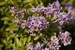 Chilean Potato Tree (Solanum crispum)