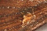 Bright-line Brown-eye (Lacanobia oleracea) Moth