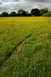 Field of buttecups