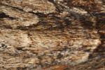 Dark Arches (Apamea monoglypha) moth scales