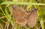Ringlet (Aphantopus hyperantus) butterflies mating