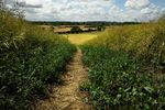 Path through oilseed rape field on Lubenham Hill