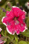 Petunia x Hybrida 'Frost' Pink flower
